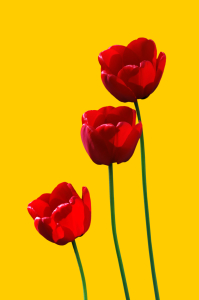 Picture no: 9291557 3redtulips3 Created by: gnubier