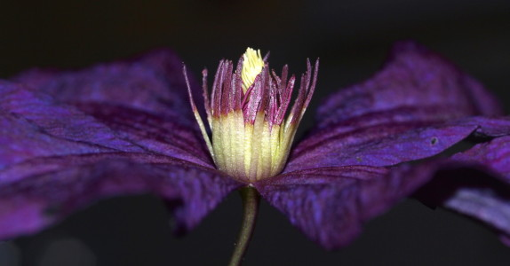 Picture no: 9306423 Clematis Created by: iljos