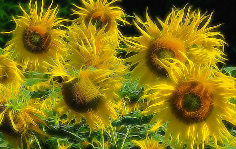 Picture no: 9309758 Sonnenblumen 1 Created by: fotograf-joker