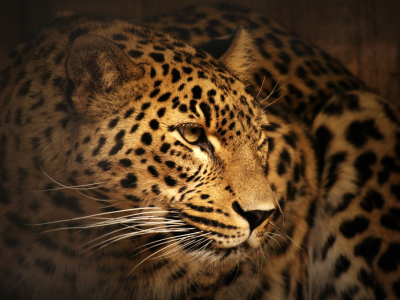 Picture no: 9370066 Leopard Created by: faralda