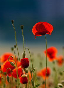 Picture no: 9431040 Mohn im Licht Created by: Thomas-Mertens