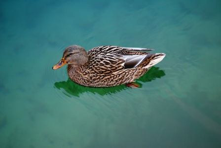 Picture no: 9445564 Bodensee-Ente Created by: youhaveadream