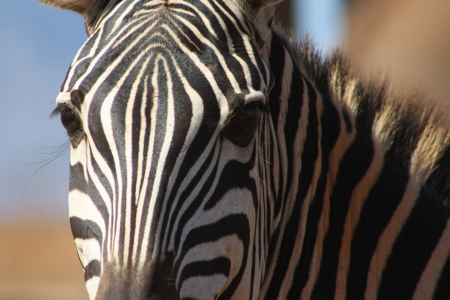 Picture no: 9456126 Zebra Gesicht Created by: dobidogman