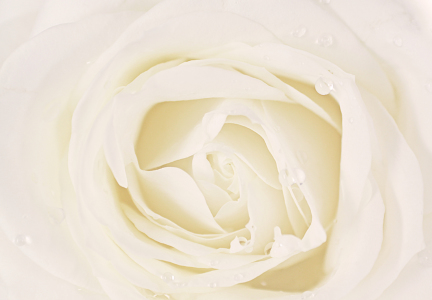 Picture no: 9462416 White Rose Created by: Rastafari