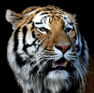 Picture no: 9478334 TigerPortrait Created by: Boersenfuchs