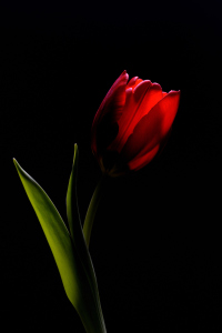 Picture no: 9513298 rote Tulpe 2 Created by: Lars Tuchel