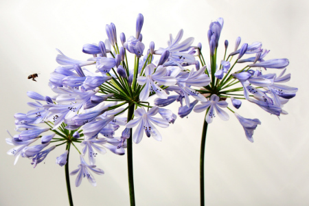 Picture no: 9547102 to reload /Angriff auf Agapanthus Created by: pichris