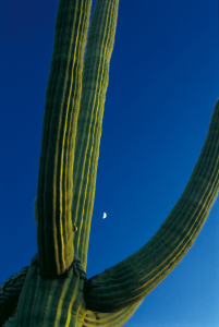 Picture no: 9562330 Saguaro Created by: danielschoenen