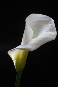 Picture no: 9563374 weiße Calla Created by: lightart
