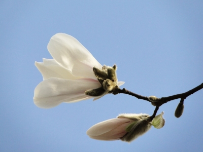 Picture no: 9603236 Magnolienknospen Created by: Renate Knapp