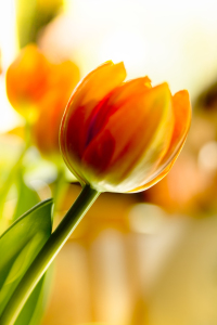 Picture no: 9609204 Tulpe Created by: Albrecht Schlotter