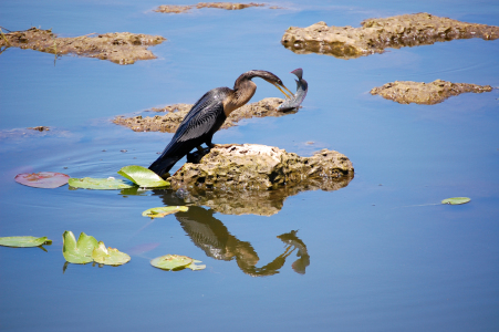 Picture no: 9643510 Anhinga auf Fischfang Created by: Eberhard