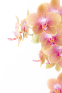 Picture no: 9695756 Orchidee Created by: Macrolia