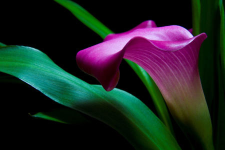 Picture no: 9707812 Calla Created by: Anja Peschel