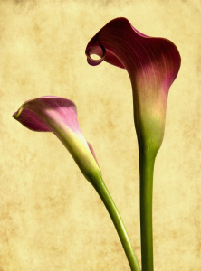 Picture no: 9708278 CALLA Created by: Anja Peschel