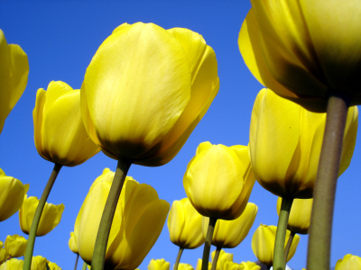 Picture no: 9783180 Tulpen Created by: Flower-Power