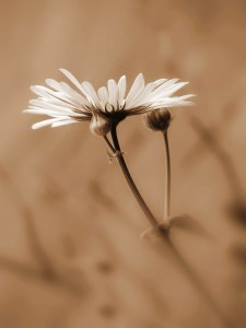 Picture no: 9881572 Margerite (Leucanthemum vulgare) Created by: Renate Knapp