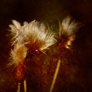 Picture no: 9921616 Distel Created by: FotoDeHRO