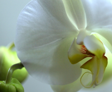 Picture no: 9930092 Weiße Phalaenopsis Created by: doka