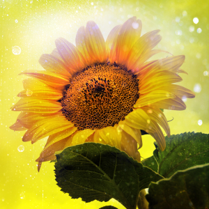Picture no: 9930684 Sunflower  Created by: Galerie-Fotoeffekt