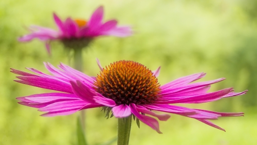 Picture no: 9971349 echinacea  Created by: Gisela Baiker