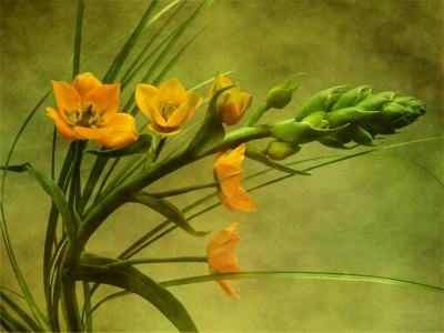 Picture no: 9997417 Ornithogalum Created by: Anja Otto