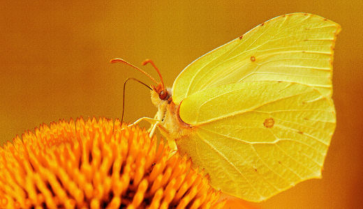 Picture no: 10002935 Schmetterling Created by: Atteloi
