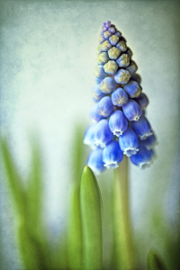 Picture no: 10003193 Muscari Created by: Wachtelstein