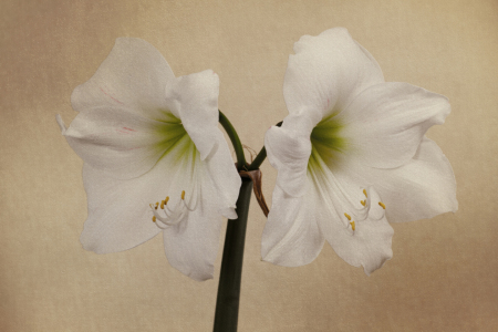 Picture no: 10021865 Amaryllis Created by: Uwe Jahn