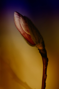 Picture no: 10023335 Magnolie Created by: Renate Knapp