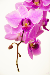 Picture no: 10035191 Orchidee Created by: hannes cmarits