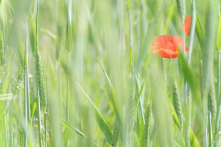 Picture no: 10085643 Mohn Impression Created by: Galerie-Fotoeffekt