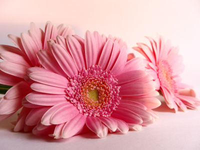 Picture no: 10086887 Gerbera Created by: naliha