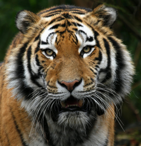 Picture no: 10100174 TigerPortrait Created by: Boersenfuchs