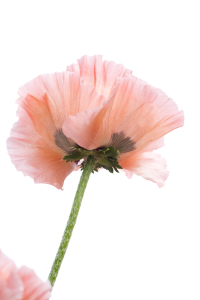 Picture no: 10106694 Mohn Created by: danielschoenen