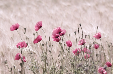 Picture no: 10107640 Rosa Mohn Created by: Tanja Riedel