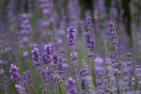 Picture no: 10126028 Lavendel II Created by: Gerhard Albicker