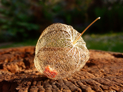 Picture no: 10136390 Physalis Created by: LudmilaF