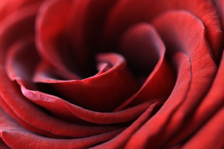 Picture no: 10137388 red rose Created by: Neutraldichte
