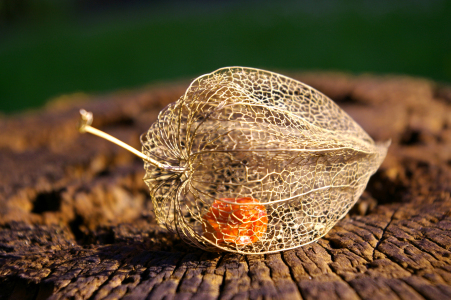 Picture no: 10137628 Physalis Created by: LudmilaF