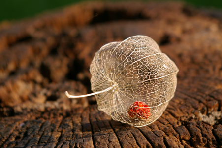 Picture no: 10139002 Physalis Created by: LudmilaF