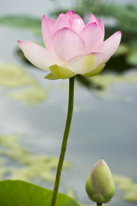 Picture no: 10160358 Lotus #3 Created by: danielschoenen