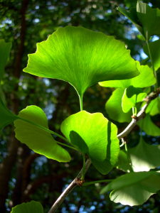 Picture no: 10179511 Ginkgobaum im Frühling Created by: blackpool