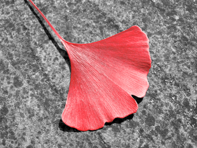 Picture no: 10212415 RED - GINKGO Created by: blackpool