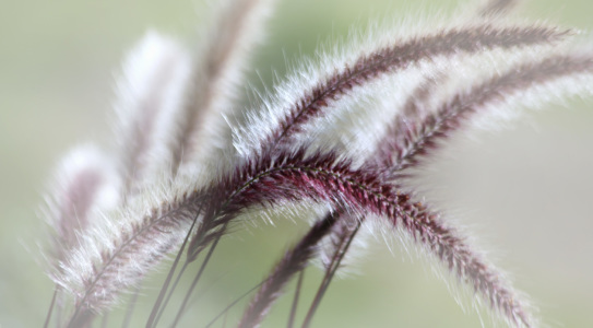 Picture no: 10226575 Lampenputzergras  (Pennisetum alopecuroides) Created by: Renate Knapp