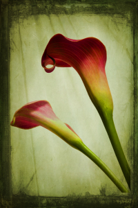 Picture no: 10263465 Calla Created by: Anja Peschel