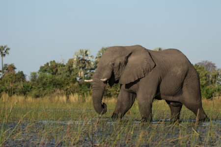 Picture no: 10308119 Elefant im Okavango Delta Created by: DirkR