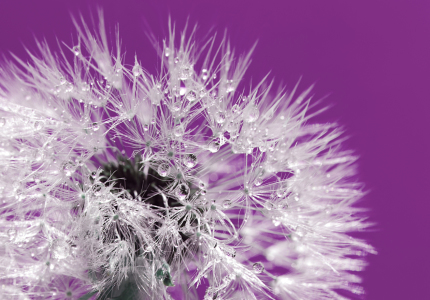 Picture no: 10342143 Pusteblume  Created by: Atteloi
