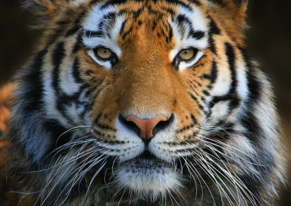 Picture no: 10366017 Tiger's Augen-Blick  Created by: Elke Krone