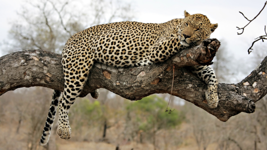 Picture no: 10393093 Resting Leopard on a tree Created by: Circumnavigation
